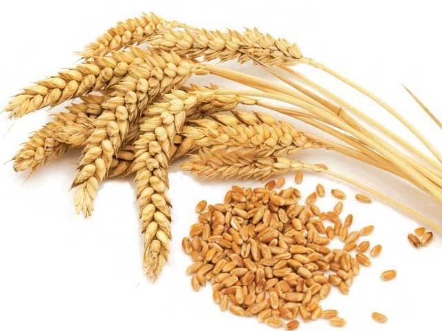 Урожай зерна в России превысит 70 миллионов тонн
