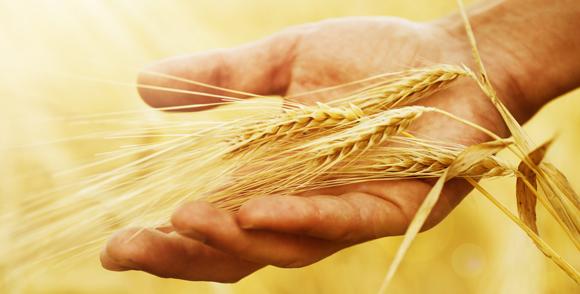 Україна збільшила постачу пшениці на Близький Схід і в Індонезію